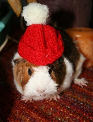 One Seam Guinea Pig Hat AllFreeKnitting.com